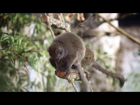 Djuren sköter snacket: Primaterna filmar