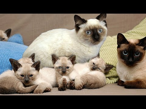 Proud Momma Siamese Cat Giving Birth To Cute Kittens - UCCreAfCtzPzNWASZHukiu2g