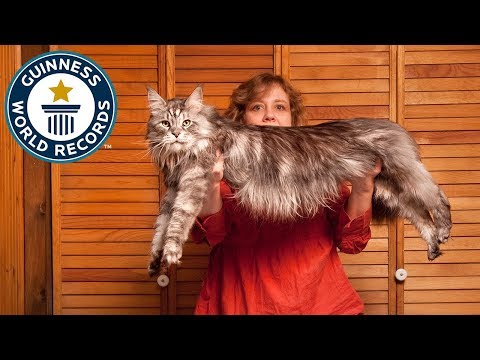Meet The Record Breakers: 'Stewie', The World's Longest Domestic Cat