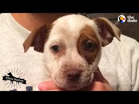 Couple Becomes First-Time Dog Parents To A Baby Pittie | The Dodo Pittie Nation