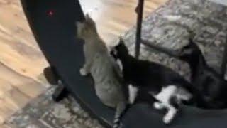 Kittens run after laser pointer on hamster wheel