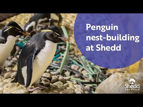 Penguin Nest-Building at Shedd