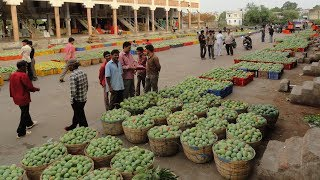 The Journey of Indian Alphonso & Kesar Mangos from the Tree to Auctions and then to London Retailers