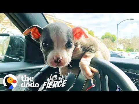 Watch this Teeny Baby Grow Up Into the Most Gorgeous Pittie Ever!    The Dodo Little But Fierce