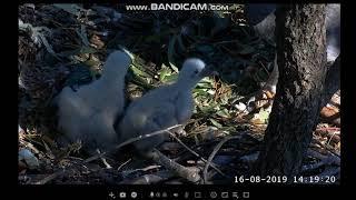 ~ Sydney White-bellied Sea-Eagle - Bieliki białobrzuche - Karmienie ~