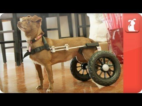 Unadoptables - Chihuahua named Beatrice gets around in wheelchair - UCPIvT-zcQl2H0vabdXJGcpg