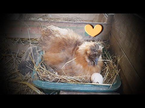 Ma petite poule voulait couver! Alors j'ai craqué ♥