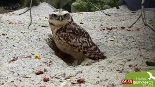 Owl attacks camera - 1 million watched it on Twitter (Global) - BBC News - 16th August 2019