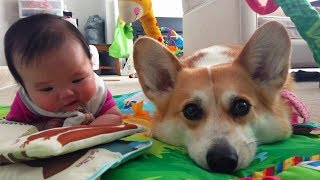 Corgi Puppy Wants To Be Baby's Best Friend    Dog Love Baby