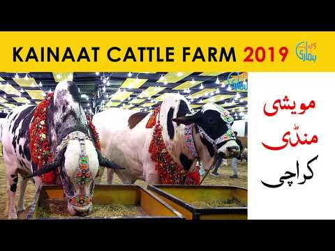 Kainat Cattle Farm Collection 2019 - Karachi Cow Mandi 2019