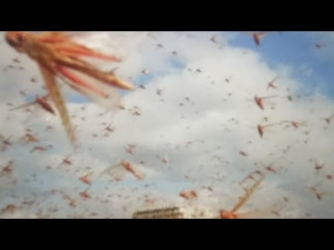 Prophecy: Biblical Plague Locust Hits India, Pakistan