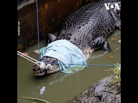 Chính quyền Indonesia bắt cá sấu sát thủ (VOA)