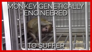 Monkey Genetically Engineered to Suffer