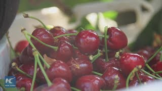 Chilean cherry exports to China improving quality of life for producers