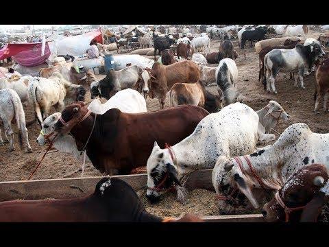 Sohrab Goth Cow Mandi Cattles Catwalk