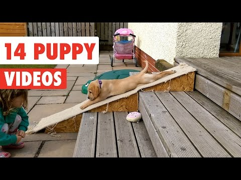14 Funny Puppy Videos Compilation 2017 - UCPIvT-zcQl2H0vabdXJGcpg