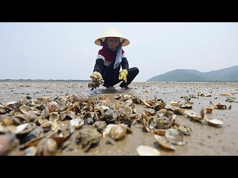 Clam die off in Hai Loc, VN