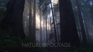 Rays Of Light In Redwood Forest, Redwood National Park