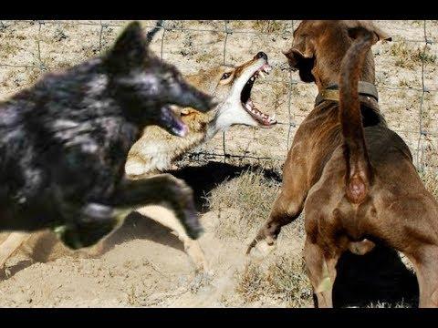Big black Coyote Attacks the dog!!! - UCI-mqa072aPsYSijI3pzxzw