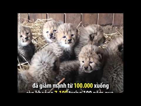 Ra mắt beo con ở sở thú Virginia (VOA)