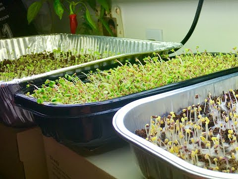 Growing Microgreens Update
