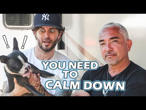Curtis Lepore's Boston Terrier Needs to Calm Down (Releasing Pent Up Energy)
