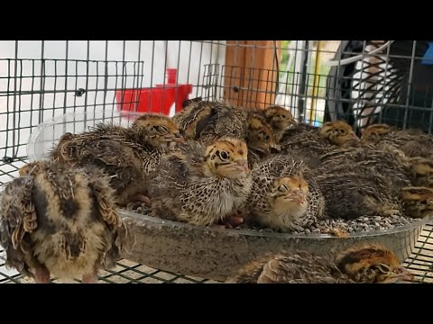 9 Day Old Coturnix Quail Sand Bathing