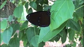 What's the reason for all these butterflies on Guam?