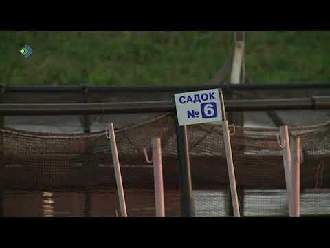 В Коми снова начнут разводить форель