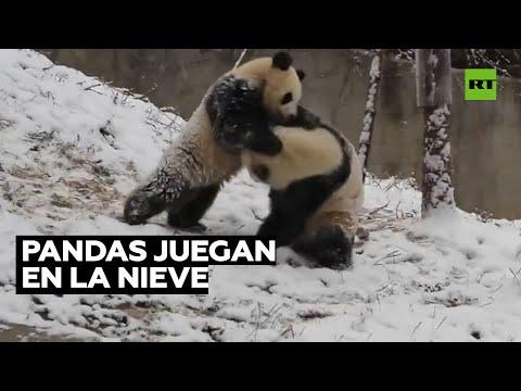Dos pandas disfrutan de la nieve en China