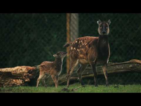 Move over Bambi! Endangered Philippine spotted deer born
