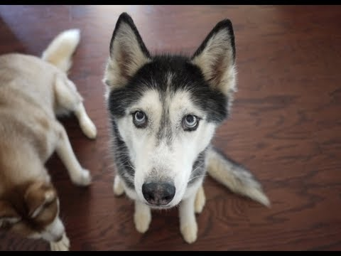 Happy 11th Birthday Mishka the Talking Husky!