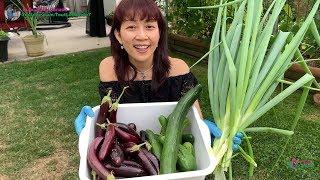 Thu Hoạch Dưa Leo, Cà Tím và Hành Lá | Vườn Rau Việt 🇨🇦375》Harvesting Cucumbers, Eggplants