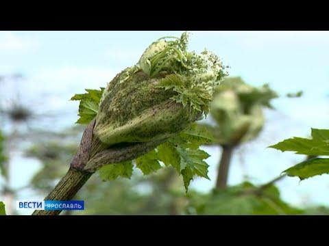 Более 100 гектаров земли в Ярославском районе обработают от борщевика