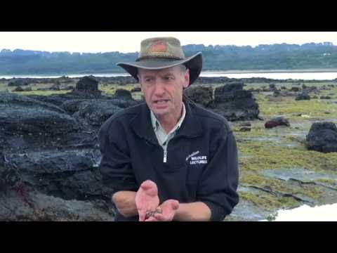 Wildlife Wanderings - Rock pools Ep 2 - Sea Cucumber & Black Elephant Sea Snail