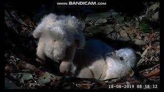 ~ Sydney White-bellied Sea-Eagle -  Małe bieliki białobrzuche ~
