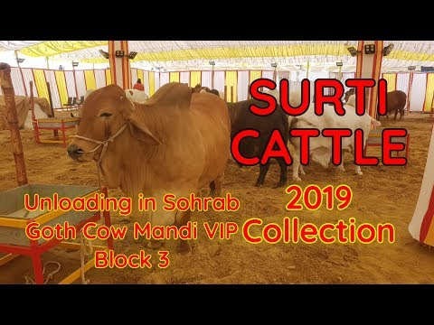 Surti Cattle Farm 2019 Collection Unloading