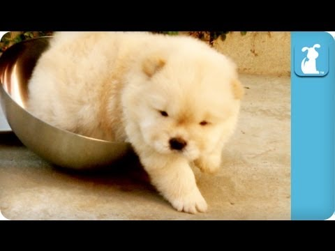 Chow Puppy Can't Get Out Of Bowl - UCPIvT-zcQl2H0vabdXJGcpg