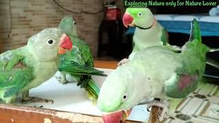 Alexander parrot world best caring parrot | Hand tame parrots