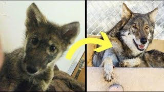 A Man Adopted A Free Puppy And Later Found Out It Was Actually A Wolf