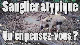 Sanglier atypique ou cochonglier ?