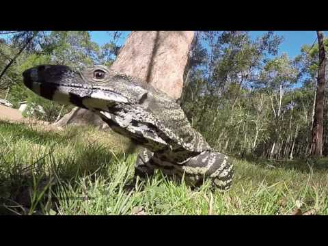 Goanna checks out my quadcopter - UCtFCt6a73h6hzXiSGqTDTrg