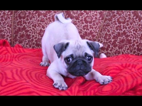Puppies Barking Compilation - Cute Dog Barking Videos [NEW] - UCCLFxVP-PFDk7yZj208aAgg