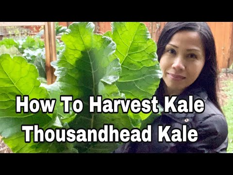 How To Harvest Kale and Tips