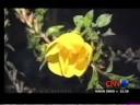 Azan Miracle Flower