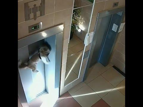 МУЖЧИНА СПАС СОБАКУ, У КОТОРОЙ ЛИФТ ЗАЖАЛ ПОВОДОК И НАЧАЛ ПОДНИМАТЬСЯ / Dog Rescued as Elevator