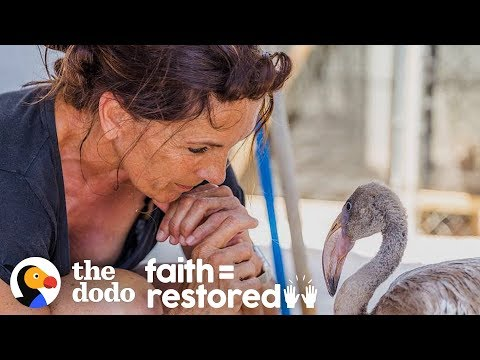 This Woman Dedicated Her Life To Saving Flamingos Who Need Her Help | The Dodo Faith = Restored