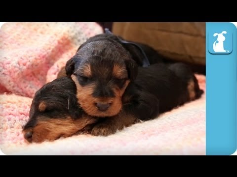 18 Day Old Precious Airedale Puppies Nap on a Blanket - Puppy Love - UCPIvT-zcQl2H0vabdXJGcpg