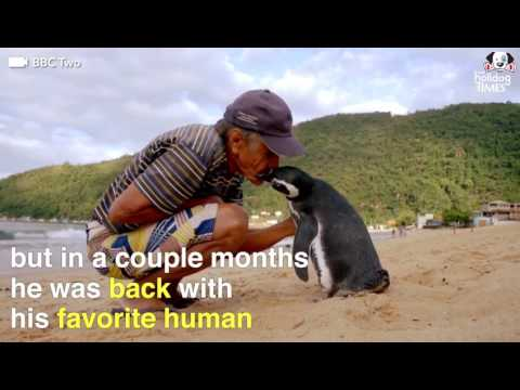 This penguin swims 5,000 miles every year to visit the man who saved his life.