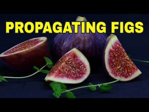 🌿HOW TO ROOT FIG CUTTINGS ✌TWO METHODS OF PROPAGATING FIG CUTTINGS ✔️